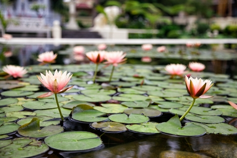 Lotus flowers in the Garden of Dreams. © Luke Mislinski